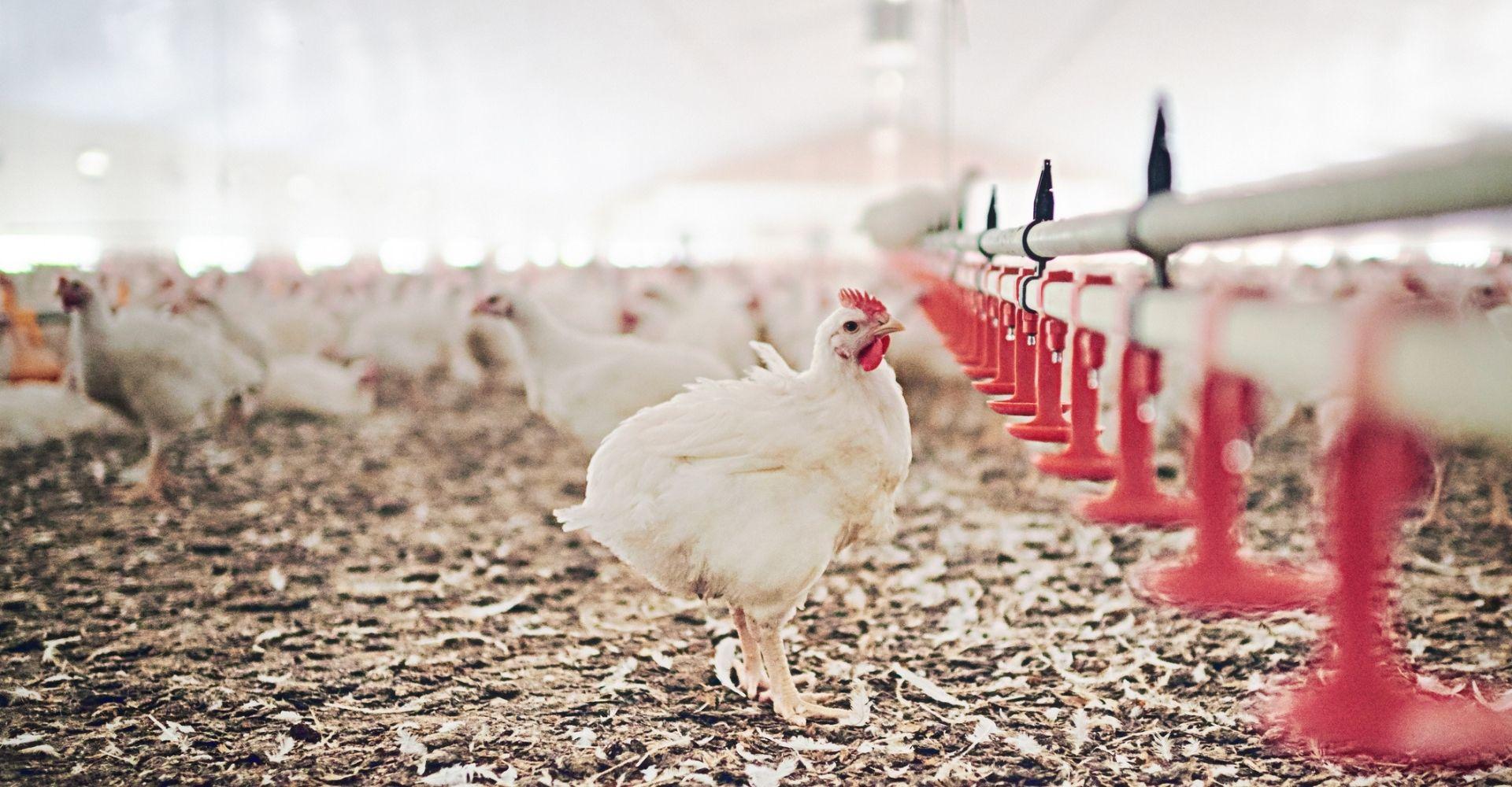 Quanto siamo umani noi umani, se non ci chiediamo mai come può vivere una gallina?